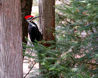 DSC_3486 Pileated crop.jpg