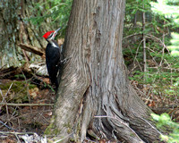 DSC_3491 Pileated crop.jpg